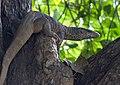 Bengal Monitor Lizard (106032441).jpg