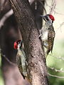 Bennett's Woodpecker, Campethera bennettii at Marakele National Park, Limpopo, South Africa (male below, female above) (16280762675).jpg
