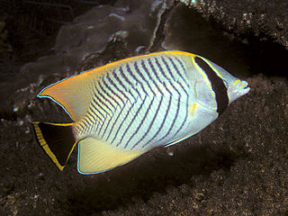 Chevron butterflyfish species of fish