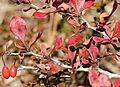 Berberis thunbergii (autumn leaf color).jpg