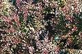 Berberis thunbergii Crimson Pygmy 2zz.jpg
