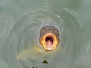Карп в воде