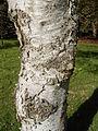 Betula platyphylla 01-10-2005 14.55.38.JPG