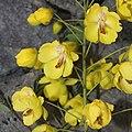 Biancaea decapetala (flower s12).jpg