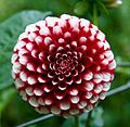 Big red and white flower.jpg