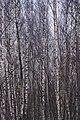 Birch trees in Olgino in December.jpg