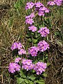 Bird's-eye primrose (Primula farinosa) on banks of the River Tees - geograph.org.uk - 1179113.jpg