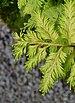 Bird's-nest Fern Asplenium nidus Leaves 1.jpg