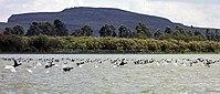 Birds at Lake Naivasha (300261994).jpg