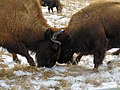 Bison Disagreement (25085700436).jpg