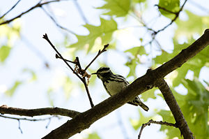 Wompatuck State Park - Black-and-white warbler in Wompatuck State Park