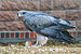 Black-chested Eagle-buzzard Tierpark Berlin.jpg