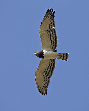 Black-chested snake eagle - Black-chested snake eagle in flight over the Serengeti, Tanzania
