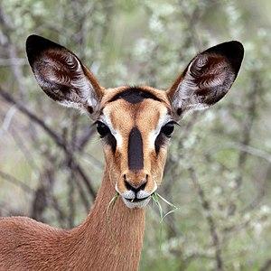 Black-faced impala (Aepyceros melampus petersi) female head.jpg