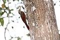Black-striped Woodcreeper (Xiphorhynchus lachrymosus) (4505565384).jpg