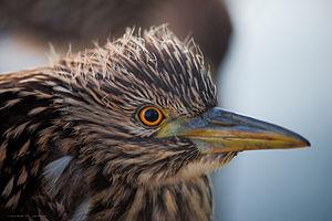English: Juvenile Black-Crowned Night Heron