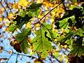 Black Oak (30784851561).jpg