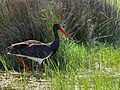 Black Stork (Ciconia nigra), Skala Kallonis, Lesvos, Greece, 11.04.2015 (16730567553).jpg