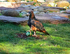 Black-breasted buzzard - A captive buzzard demonstrates how it uses a stone to crack an emu egg.