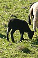 Black lamb with white tail (13376567724).jpg