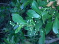 Blackbead (2943310452).png