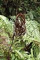 Blechnum novae-zelandiae kz4.jpg