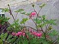 Bleeding Hearts Doing Well (14028196930).jpg