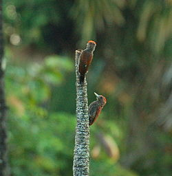 Blood-colored woodpeckers (11294614053).jpg