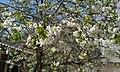 Blossom of Cherries 02.jpg