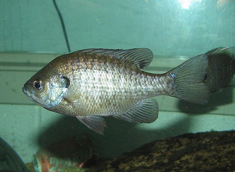 Sunfish Care - Keeping Pumpkinseeds, Bluegills and their Relatives