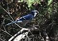 Blue Jay (44487275554).jpg