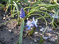 Blue spring flowers, Muscari and Scilla.jpg