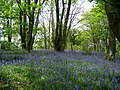Bluebells in North Wood, near Featherstone castle - geograph.org.uk - 173088.jpg