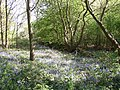 Bluebells off Wetshod Lane, Brighouse - geograph.org.uk - 458893.jpg