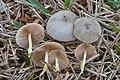 Bolbitius reticulatus 851351.jpg