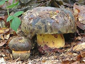 Rubroboletus satanas wikivisually imperator torosus image boletus torosus 1 fandeluxe Image collections