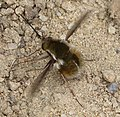 Bombylius fimbriatus, probably (32280808281).jpg