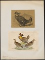 Bonasa cupido - 1700-1880 - Print - Iconographia Zoologica - Special Collections University of Amsterdam - UBA01 IZ17100369.tif
