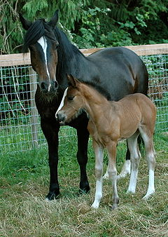 Welsh Pony and Cob