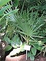 Borassus flabellifer - Palmengarten Frankfurt - DSC01817.JPG