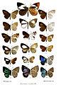 BorneanLycaenidae1Purkiss.jpg