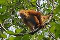 Bornean orangutan (Pongo pygmaeus), Tanjung Putting National Park 08.jpg