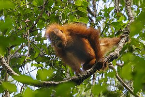 Bornean orangutan (Pongo pygmaeus) in Tanjung Puting National Park