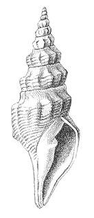 <i>Borsonia epigona</i> Species of gastropod