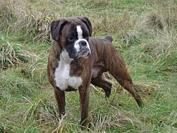 Mâle pure breed boxer