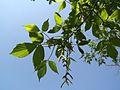 Boxelder (Acer negudo) with young fruit - Flickr - Jay Sturner.jpg
