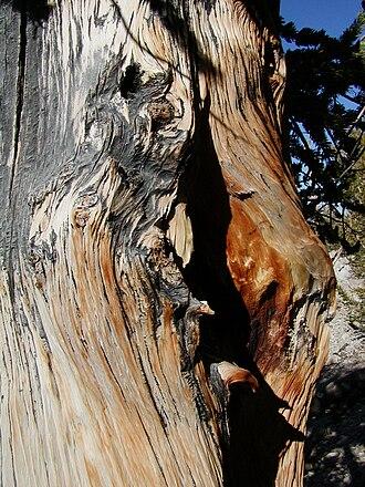 Bristlecone pine - Gnarled bristlecone pine wood