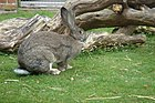 British Giant rabbit - geograph.org.uk - 163223.jpg