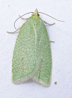 British Moths - Green Oak Tortrix - Tortrix viridana 2.jpg