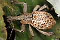Broad-nosed weevil from a Papuan lowland rainforest (5400656570).jpg